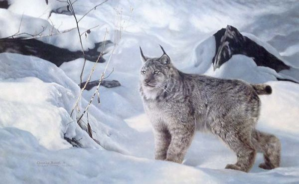 Charles Frace - A Radiant Moment print of a canadian lynx standing peacefully in pristine snow
