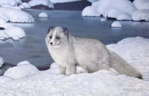 Charles Frace - Alaskan Friend print of arctic fox standing on snowy bank with water behind