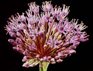 Harvey Shanbaum - Burst photograph of flower