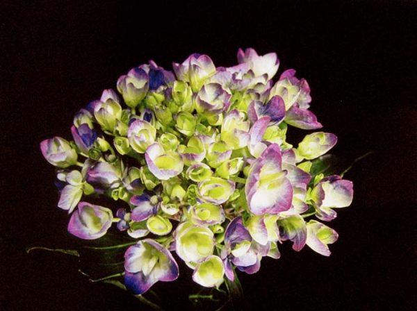 Harvey Shanbaum - Cluster (photograph)
