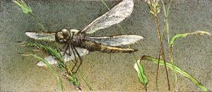 Robert Bateman - Dragonfly print of dragonfly landing on green reeds