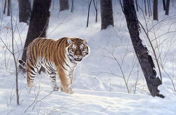 Charles Frace - Emperor of Siberia print of a siberian tiger roaming a snowy forest
