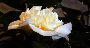 Harvey Shanbaum - In Bloom - Camillia (photograph)