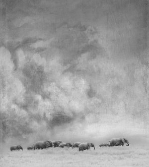 Black and White photo of herd of elephants