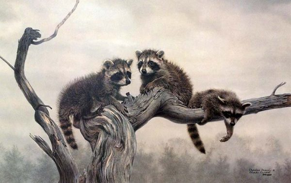 Charles Frace - Out on a Limb print of three little raccoons hanging out on a large tree branch