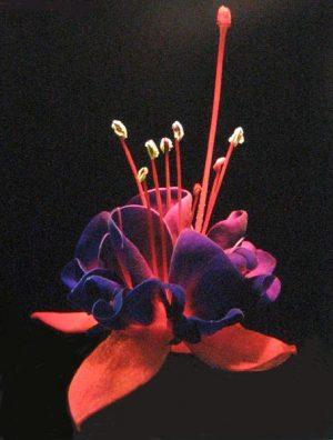 Harvey Shanbaum - Purple Shawl (photograph)