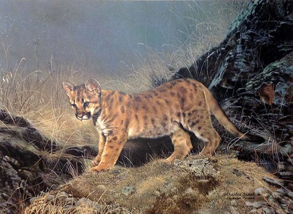 Charles Frace - Ready for Adventure print of cougar cub standing in brush