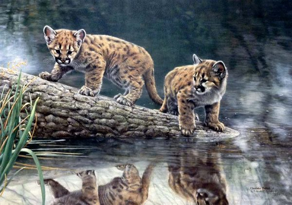 Charles Frace - Reflections print of two cougar cubs looking at their reflections in water while standing on tree