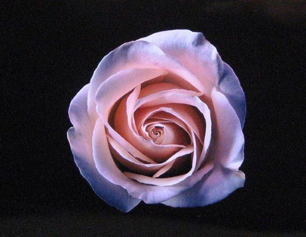 Harvey Shanbaum - Rose (photograph)