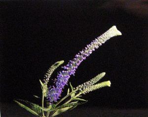 Photograph of a long purple flower