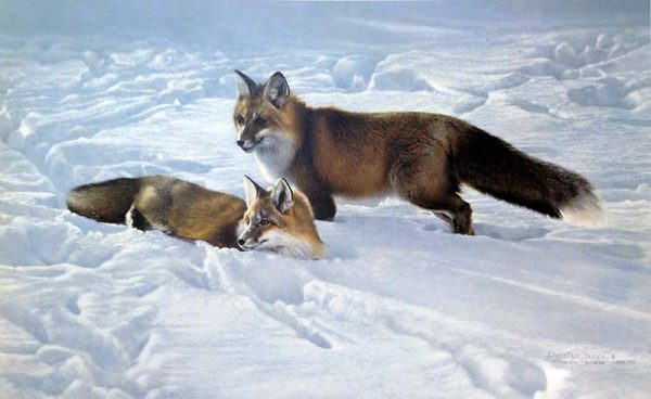 Charles Frace - Surprise print of two foxes relaxing in the snow
