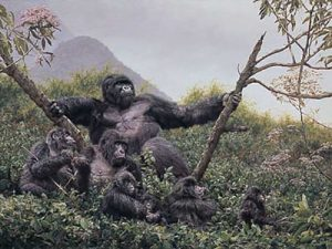 Simon Combes - The Guardian print of mountain gorillas in trees
