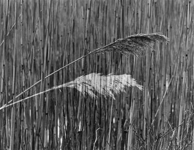 Peter Dreyer - Katama Reeds (11x14 photograph)