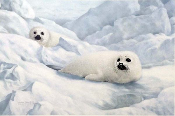 Charles Frace - Peace on Ice print of two white seals on a snowy iceberg