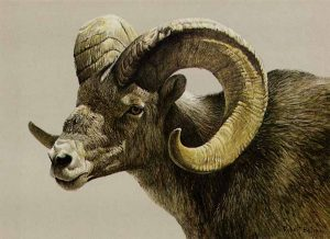 Robert Bateman - Stone Sheep Ram lithograph