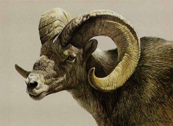 Robert Bateman - Stone Sheep Ram lithograph