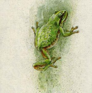 Robert Bateman - Tree Frog (4x4 lithograph on paper)