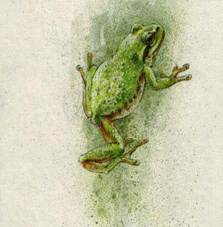 Robert Bateman - Tree Frog (4x4 lithograph on paper)
