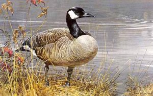 Robert Bateman - Pride of Autumn print of Canada Goose among reeds on water