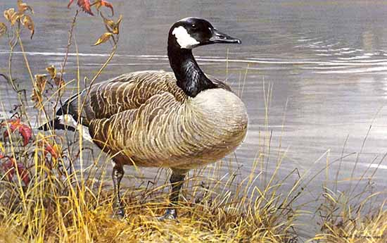 Robert Bateman - Pride of Autumn print of Canada Goose among reeds on water