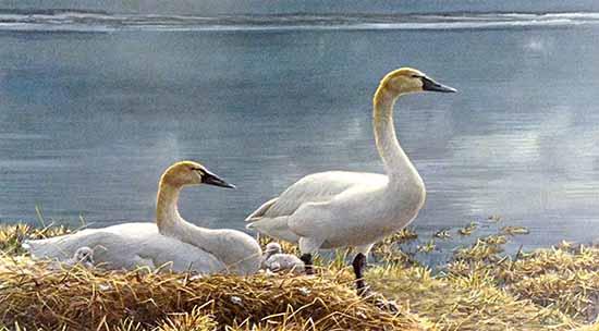 Robert Bateman - Wide Horizons print of Tundra Swans protecting chicks